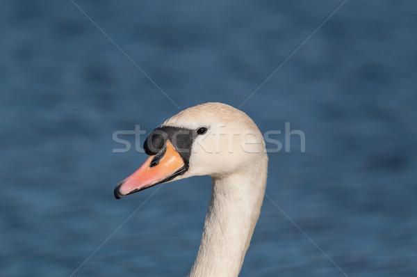 Dempen zwaan vijver hoofd nek Blauw Stockfoto © brianguest