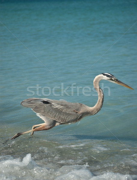 Lunging Great Blue Heron on a Gulf Coast Beach Stock photo © brianguest