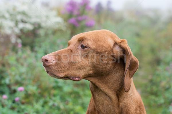 Hungarian Vizsla dog in a field. Stock photo © brianguest