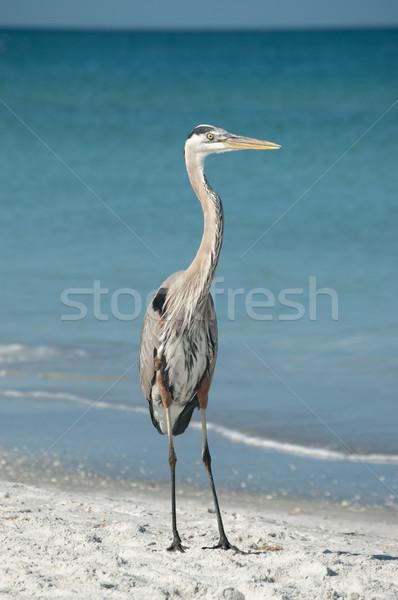 青 鷺 フロリダ ビーチ 砂 ストックフォト © brianguest
