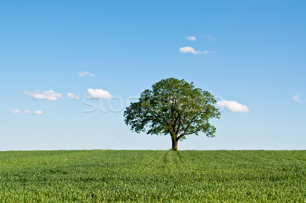 Lone Tree in a Green Field Stock photo © brianguest