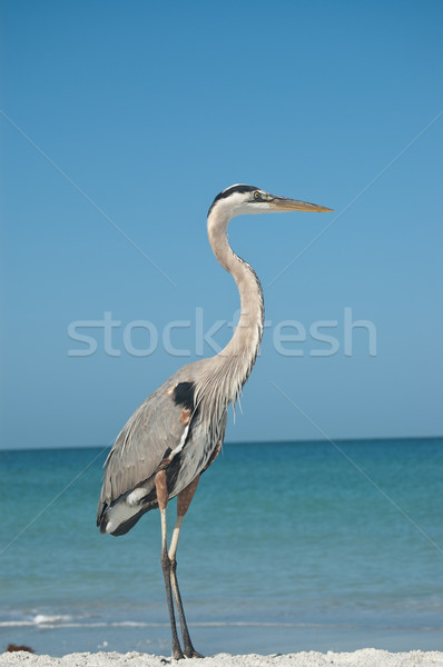 Stockfoto: Groot · Blauw · reiger · Florida · strand · blauwe · hemel