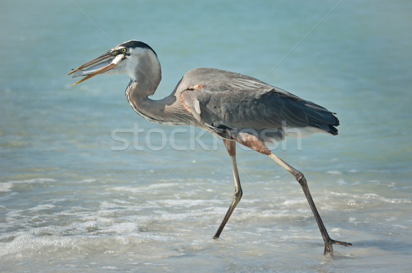 Great Blue Heron With Fish on a Gulf Coast Beach Stock photo © brianguest