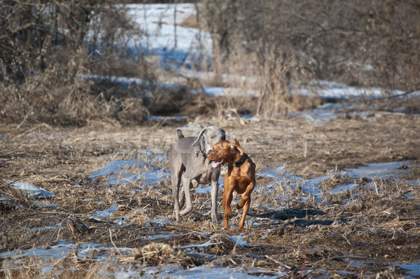 Two dogs running in a field in winter Stock photo © brianguest