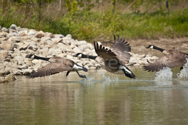 Three Canada Geese Taking Off from a Pond Stock photo © brianguest
