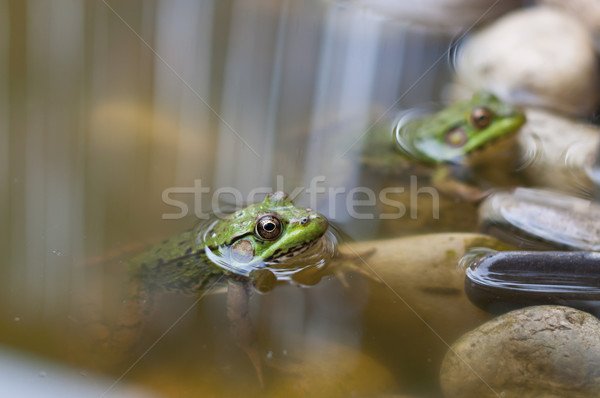 Twee groene vijver paar water natuur Stockfoto © brianguest
