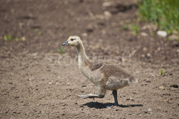 Canadian Gosling Walking in the Dirt Stock photo © brianguest