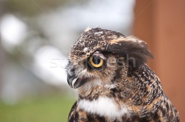 Stock photo: Great Horned Owl in Profile