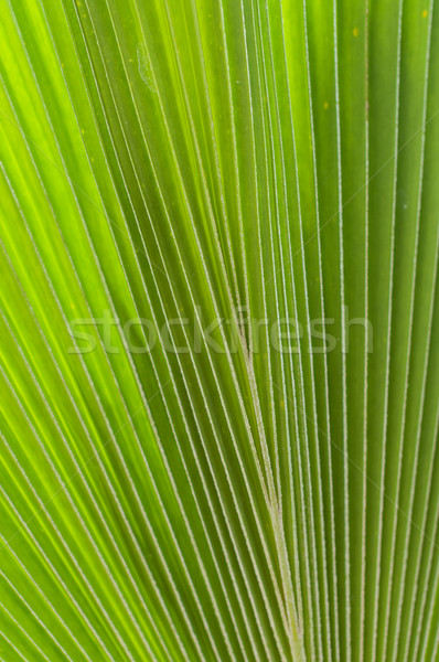 Palm Frond Texture Stock photo © brianguest