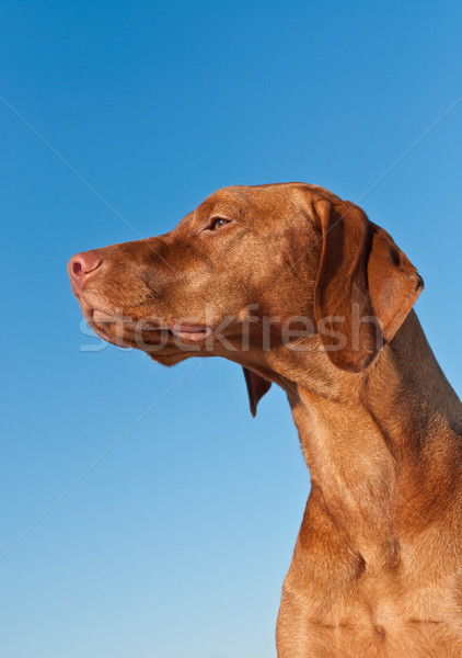 Vizsla (Hungarian pointer) Dog in Profile with Blue Sky Stock photo © brianguest
