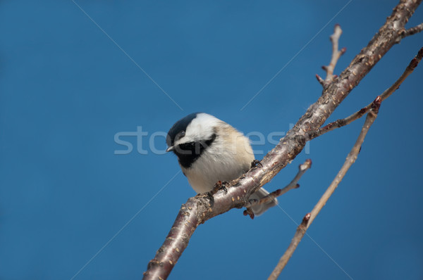 Chickadee Perching on a Branch Stock photo © brianguest