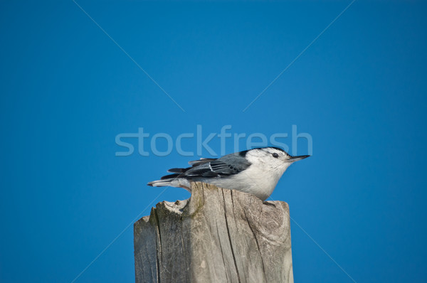 White-breasted Nuthatch on a Wooden Post Stock photo © brianguest