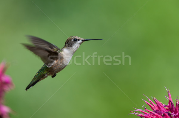 Ruby-throated hummingbird with purple flowers Stock photo © brianguest