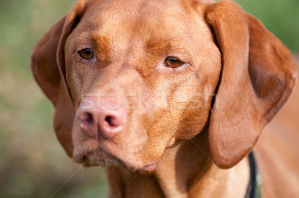 Closeup of a Vizsla Dog Stock photo © brianguest