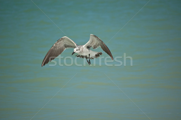 Juvenile Laughing Gull in Flight Stock photo © brianguest