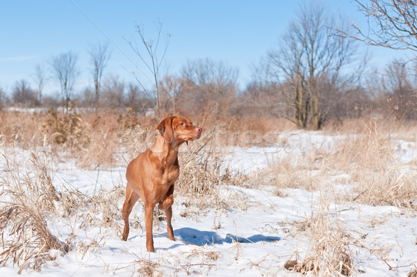 Vizsla dog (Hungarian pointer) pointing in a snowy field. Stock photo © brianguest
