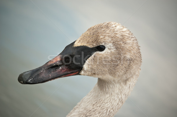 Cygne boueux bec coup Photo stock © brianguest