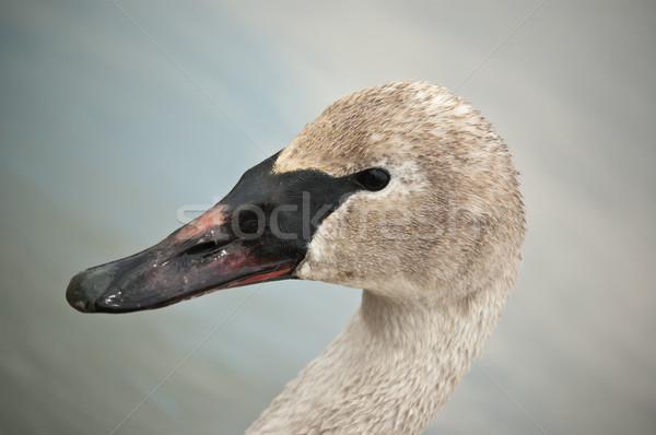 Cisne fangoso pico primer plano tiro Foto stock © brianguest