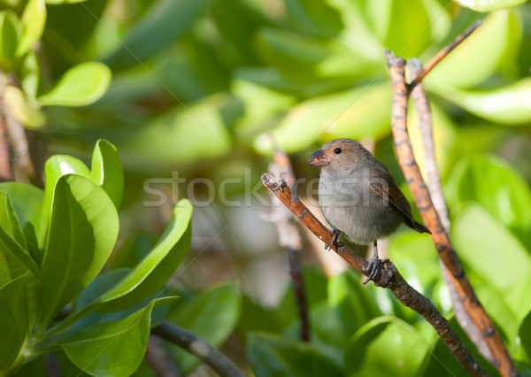 Stock photo: Female Lesser Antillean Bullfinch perched on a branch.