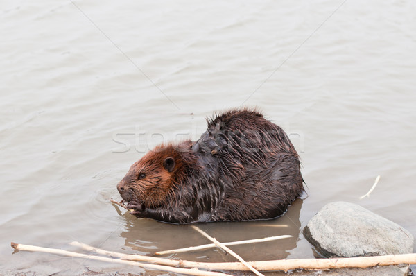 Beaver Chewing a Stick Stock photo © brianguest