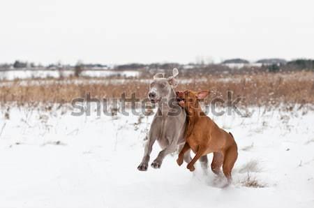 Dwa psów gry śniegu psa grać Zdjęcia stock © brianguest