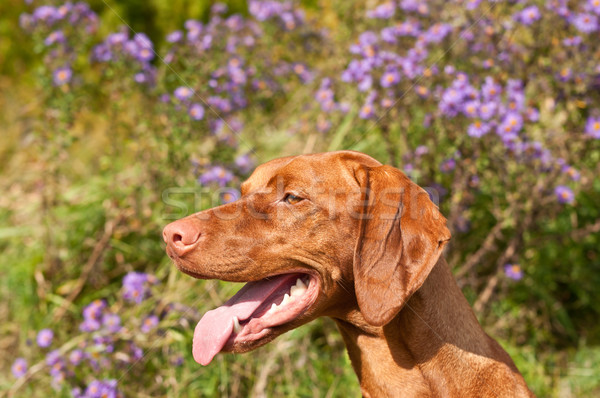 Close-up of a Vizsla Dog in Profile with Wildflowers Stock photo © brianguest