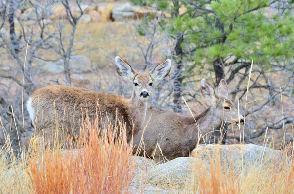 Mule Deer Does Stock photo © brm1949