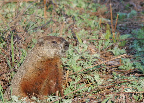 Groundhog (Marmota monax) Stock photo © brm1949