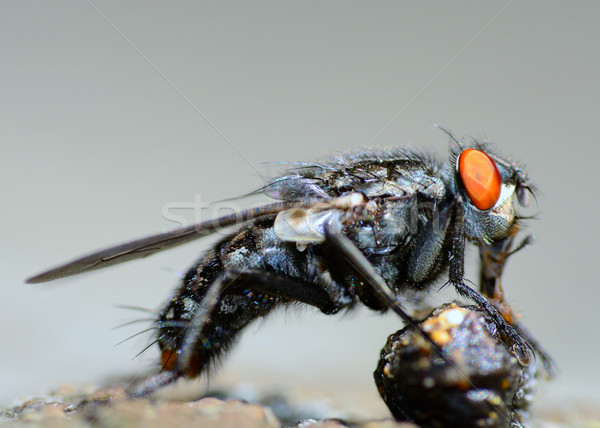 Fly Eating. Stock photo © brm1949