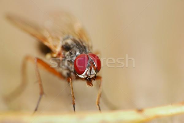 Fly Macro Stock photo © brm1949