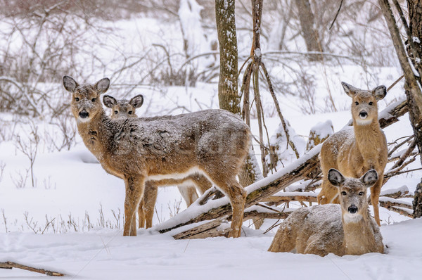 Winter Whitetail Deer Stock photo © brm1949