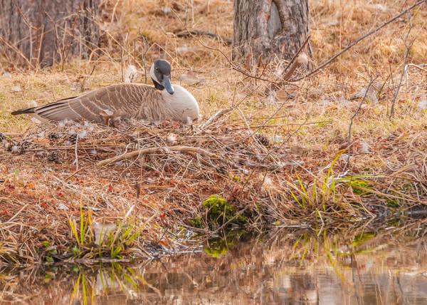 Canada Goose Nest Stock photo © brm1949