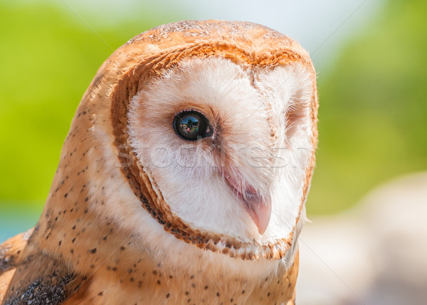 Stock photo: Barn Owl