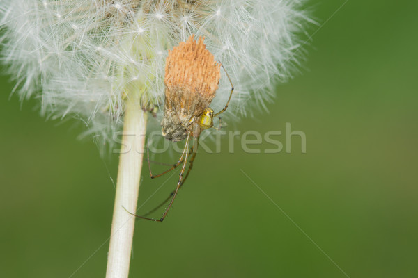 Long-jawed Orb Weaver (Tetragnatha laboriosa) Stock photo © brm1949