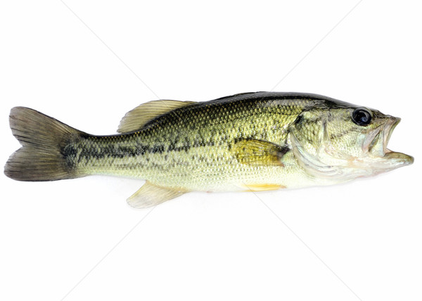 Largemouth Bass Stock photo © brm1949