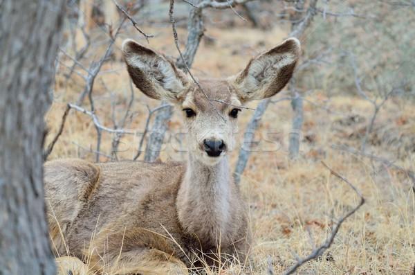 Mule Deer Doe With Yearlings Stock photo © brm1949