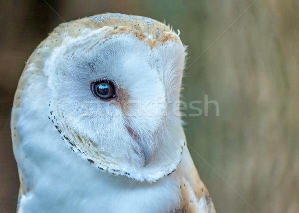 Barn Owl Stock photo © brm1949