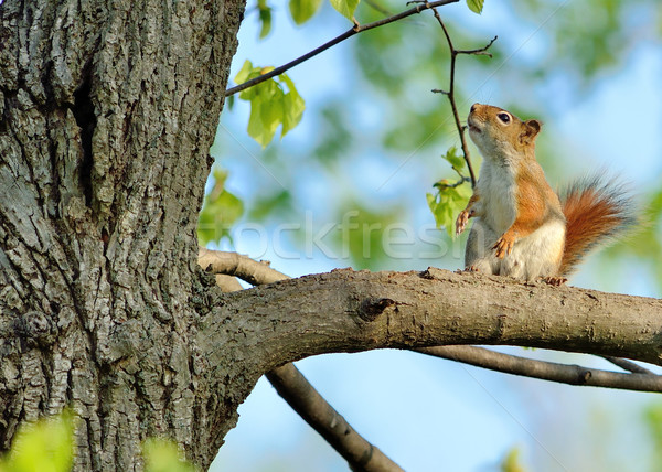 Red Squirrel Stock photo © brm1949