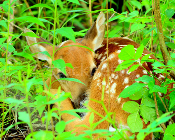 Newborn Whitetail Deer Fawn Stock photo © brm1949