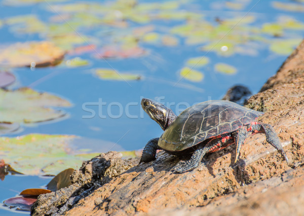 Stock photo: Painted Turtle On A Log
