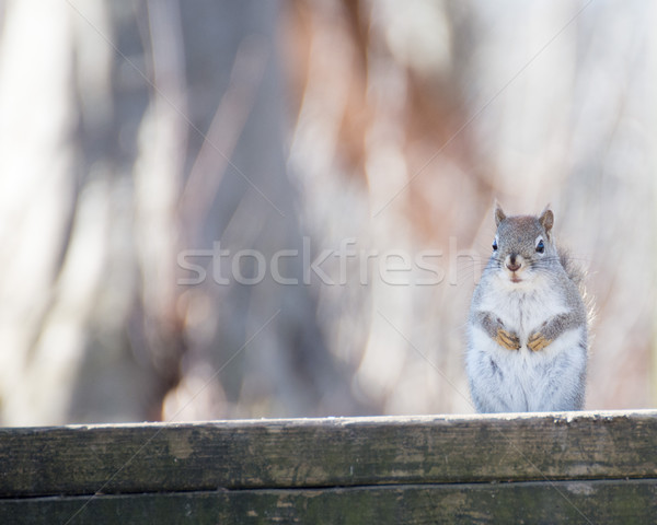 アメリカン 赤 リス 森 自然 歩道 ストックフォト © brm1949