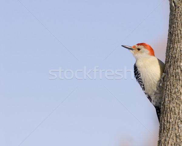 Red-bellied Woodpecker (Melanerpes carolinus) Stock photo © brm1949