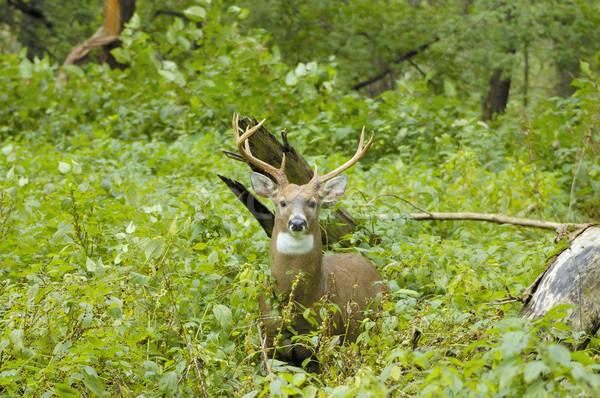ストックフォト: 鹿 · バック · 立って · 森林 · 動物