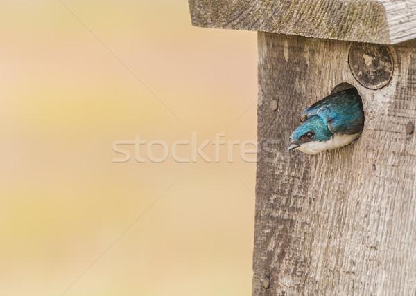 Tree Swallow Stock photo © brm1949