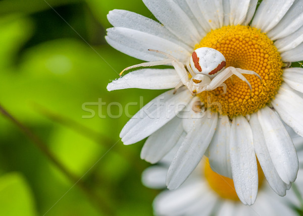Goldenrod Crab Spider Stock photo © brm1949
