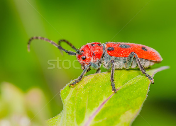 Milkweed Beetle  Stock photo © brm1949