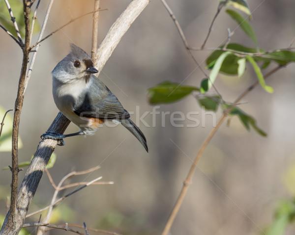 Pássaro animal ao ar livre animais selvagens fauna Foto stock © brm1949
