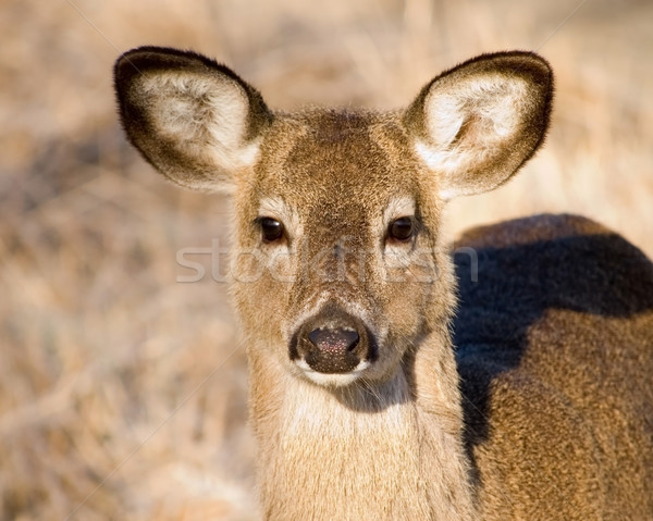 Whitetail Yearling Stock photo © brm1949