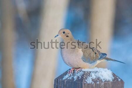 Gyász galamb posta madár mag Stock fotó © brm1949