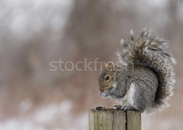 Gray Squirrel (Sciurus carolinensis) Stock photo © brm1949